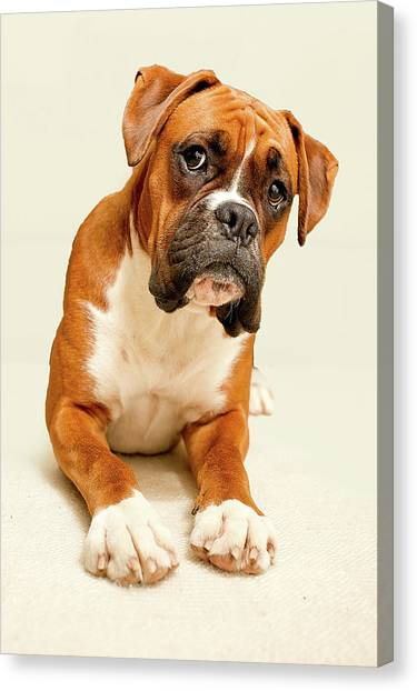 Dogs Canvas Print - Boxer Dog On Ivory Backdrop by Danny Beattie Photography