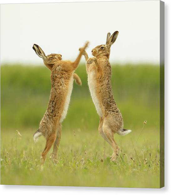 Boxing Hares Square Canvas Print