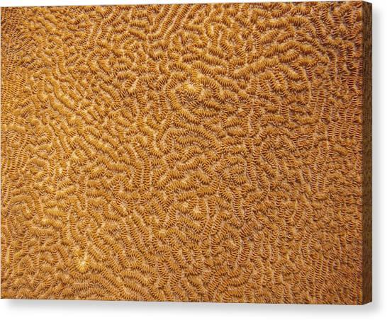 Brain Coral 47 Canvas Print