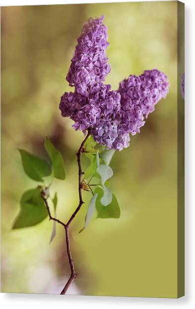 Branch Of Fresh Violet Lilac Canvas Print