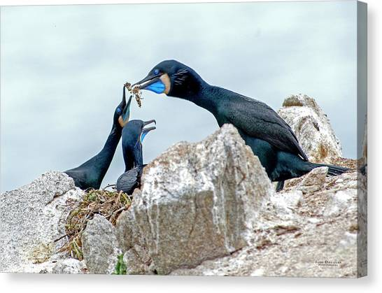 Brandt's Cormorant Feeding Family Canvas Print