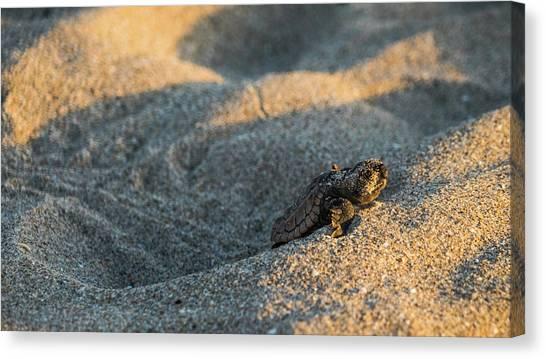 Brave Beginnings Sea Turtle Hatchling Delray Beach Florida Canvas Print
