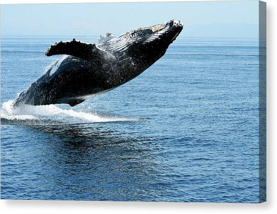 Breaching Humpback Whales Happy-2 Canvas Print