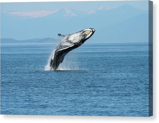 Breaching Humpback Whales Happy-3 Canvas Print