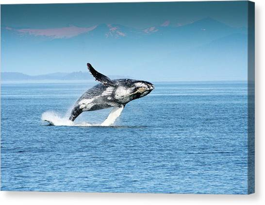 Breaching Humpback Whales Happy-4 Canvas Print