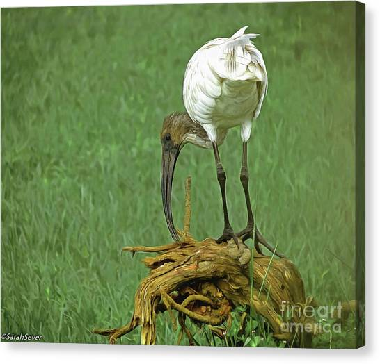 Breakfast With The Ibis Canvas Print