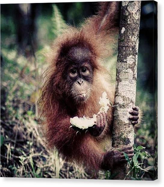 Orangutans Canvas Print - Breakfast #orangutan #wildlife #wild by Nurcholis Anhari Lubis