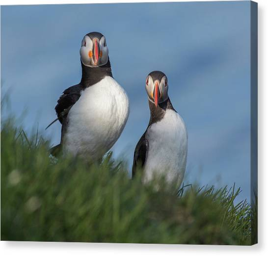 Puffins Canvas Print - Breast Implants Humor by Betsy Knapp