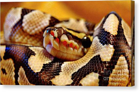 Ball Pythons Canvas Print - Breathe by Justin Moore