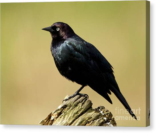 Brewers Blackbird Resting On Log Canvas Print