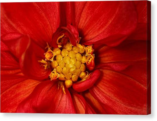 Bright Orange Dahlia Canvas Print