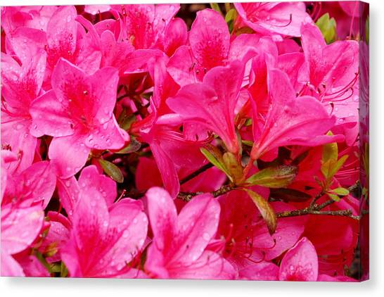 Canvas Print - Bright Pink Rhododendrons by Sonja Anderson