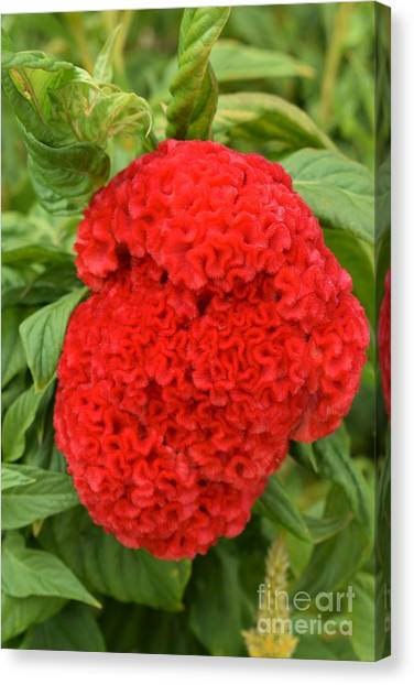 Bright Red Cockscomb Canvas Print