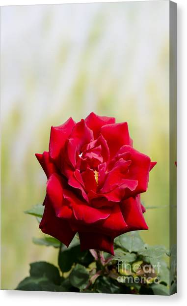 Bright Red Rose Canvas Print