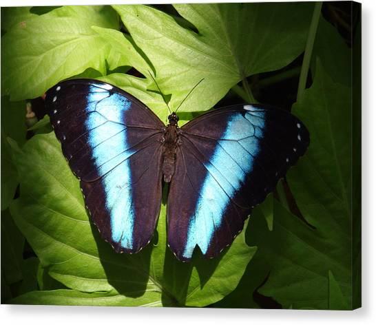 Brillant Blue Butterfly Canvas Print by Nicole I Hamilton