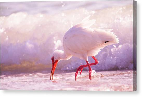 Ibis Canvas Print - Brilliant Beauty Cortez Beach by Betsy Knapp