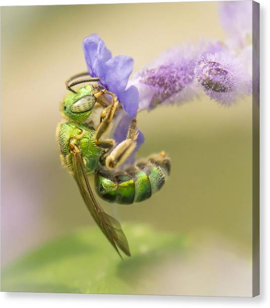 Pollinator Canvas Print - Brilliant Green Bee by Jim Hughes