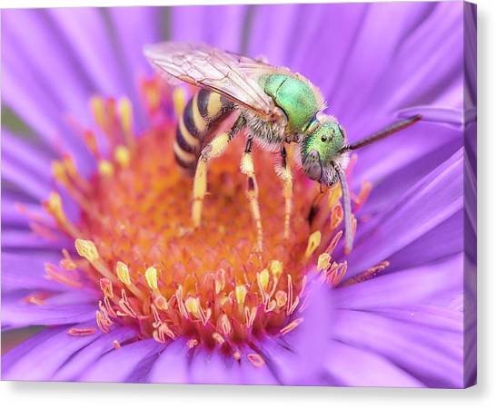 Pollinator Canvas Print - Brilliant Green Halactid Bee  On Aster by Jim Hughes
