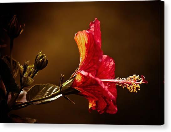 Brilliant Hibiscus Canvas Print