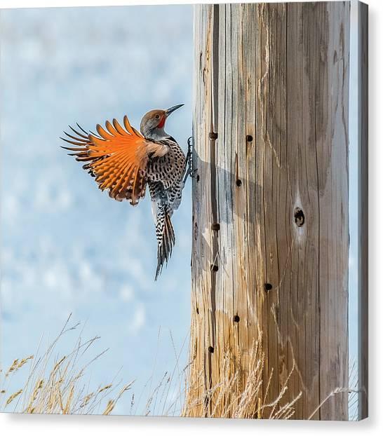 Brilliant Northern Flicker Woodpecker Canvas Print