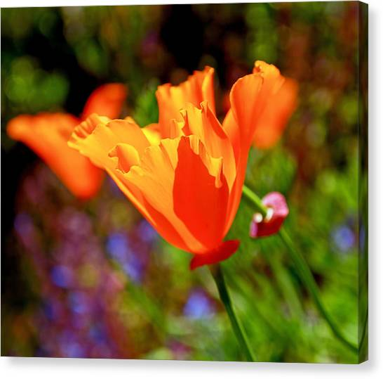 Canvas Print - Brilliant Spring Poppies by Rona Black