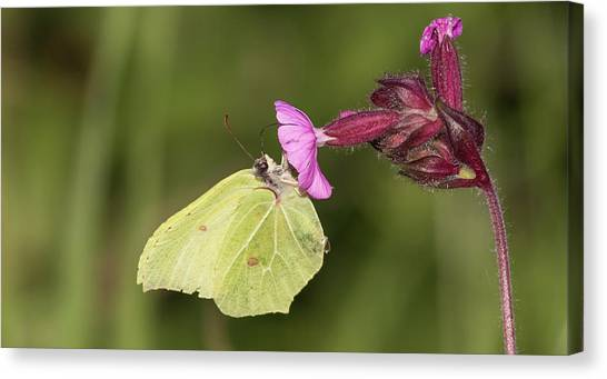 Brimstone Butterfly Canvas Print