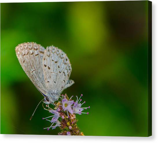 British Butterfly Or Little Blue Canvas Print