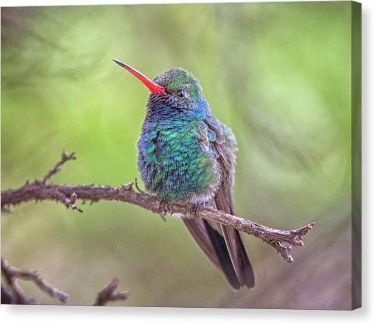 Broad-billed Hummingbird 3652 Canvas Print