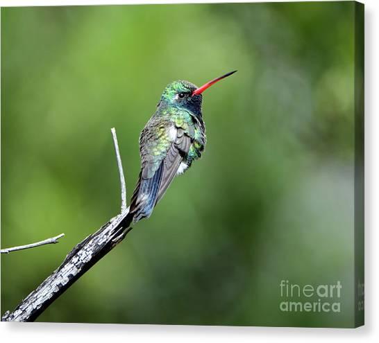 Broad-billed Hummingbird Canvas Print