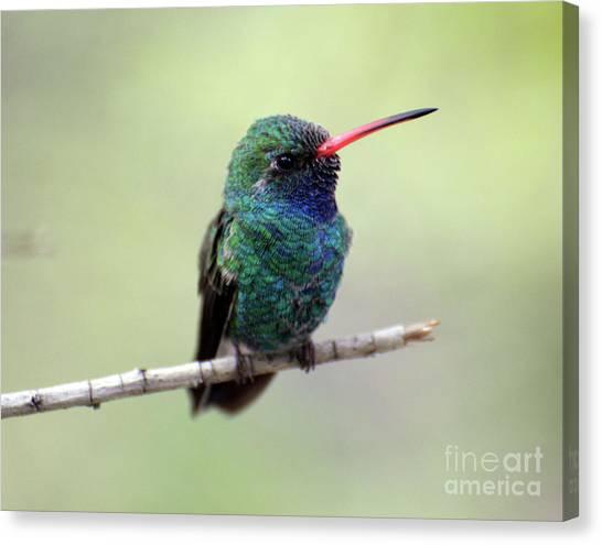 Broad-billed Hummingbird Portrait Canvas Print
