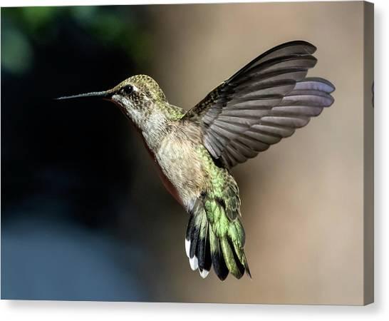 Broad-tailed Hummingbird Female Canvas Print