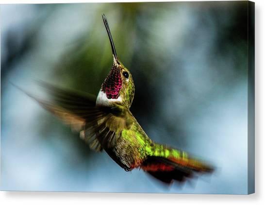 Broad-tailed Hummingbird In Flight Canvas Print