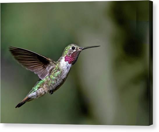 Broad-tailed Hummingbird Male Canvas Print
