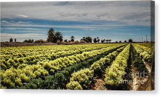 Broccoli Canvas Print - Broccoli Seed by Robert Bales