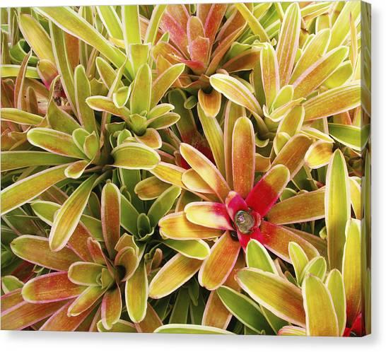Bromeliad Canvas Print - Bromeliad Brightness by Ron Dahlquist - Printscapes