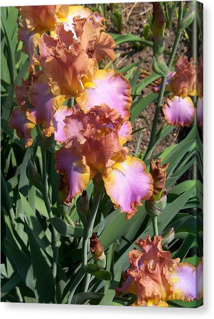 Bronze Iris Canvas Print by Lois Mountz