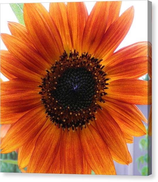 Bronze Sunflower No 2 Canvas Print by Jeanette Oberholtzer