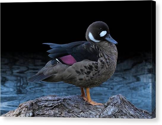 Bronze-winged Duck Canvas Print