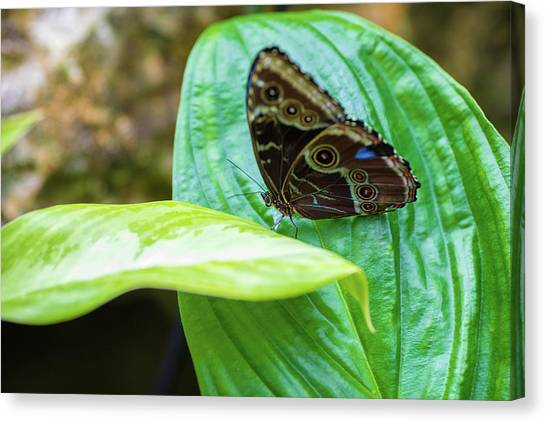 Canvas Print featuring the photograph Brown And Blue Butterfly by Raphael Lopez