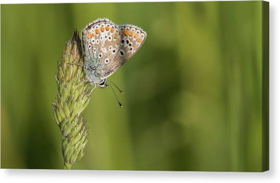Brown Argus Canvas Print
