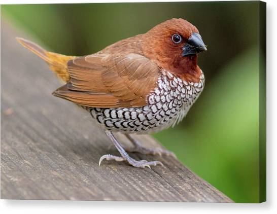 Canvas Print featuring the photograph Brown Bird by Raphael Lopez