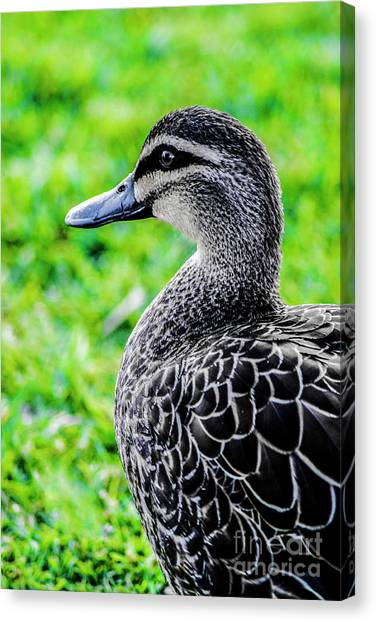 Brown Duck 1 Canvas Print