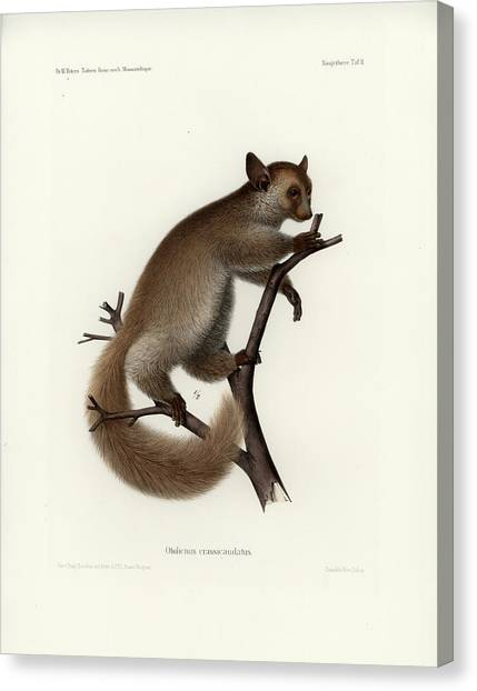 Brown Greater Galago Or Thick-tailed Bushbaby Canvas Print