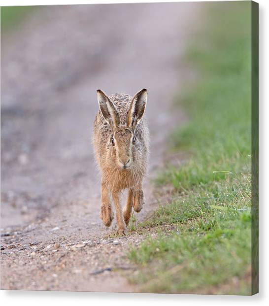 Brown Hare Approaching Down Track Canvas Print