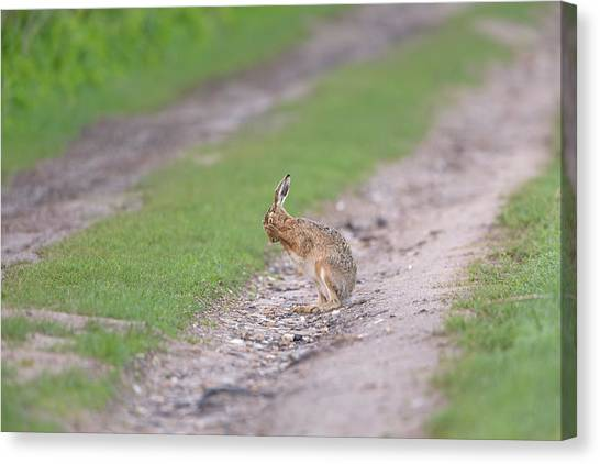 Brown Hare Cleaning Canvas Print