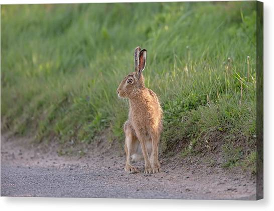 Brown Hare Listening Canvas Print
