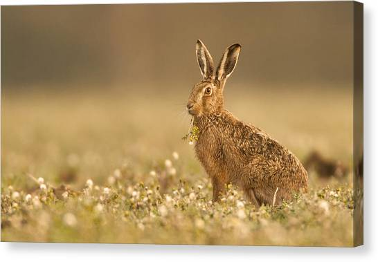 Hare Canvas Print - Brown Hare  by Paul Neville
