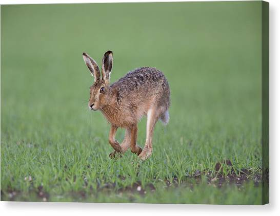 Brown Hare Running Canvas Print