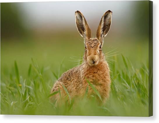 Brown Hare Stare Canvas Print