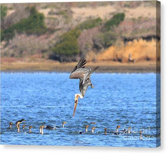 Brown Pelican Diving Canvas Print by Wingsdomain Art and Photography